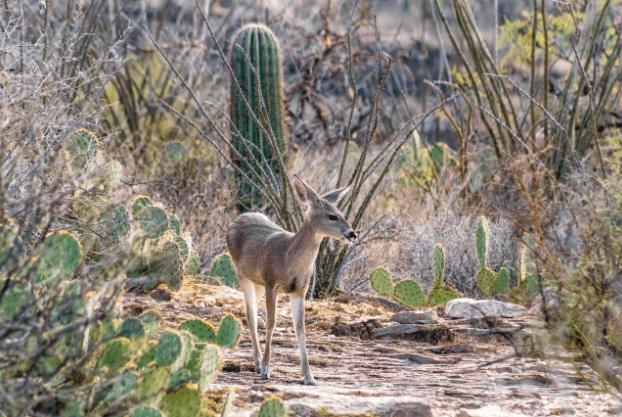 Venado en desierto de Sonora